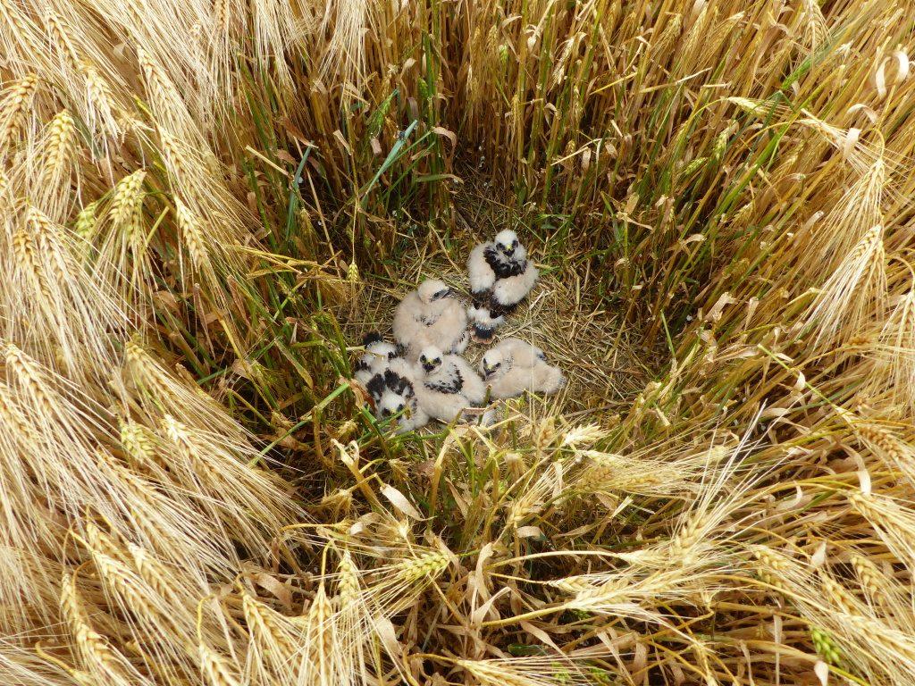 pět nevzletných mláďat motáka lužního ve hnízdě v obilí