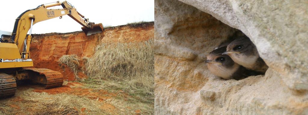 Těžba mimo hnízdní sezónu vytváří příhodná hnízdiště pro břehule.