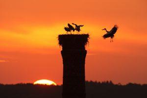 """""""Návrat domů"""". Čáp přilétá na hnízdo s mladými za západu slunce."""