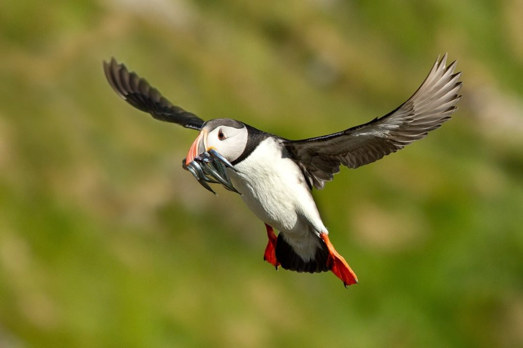 letící papuchalk