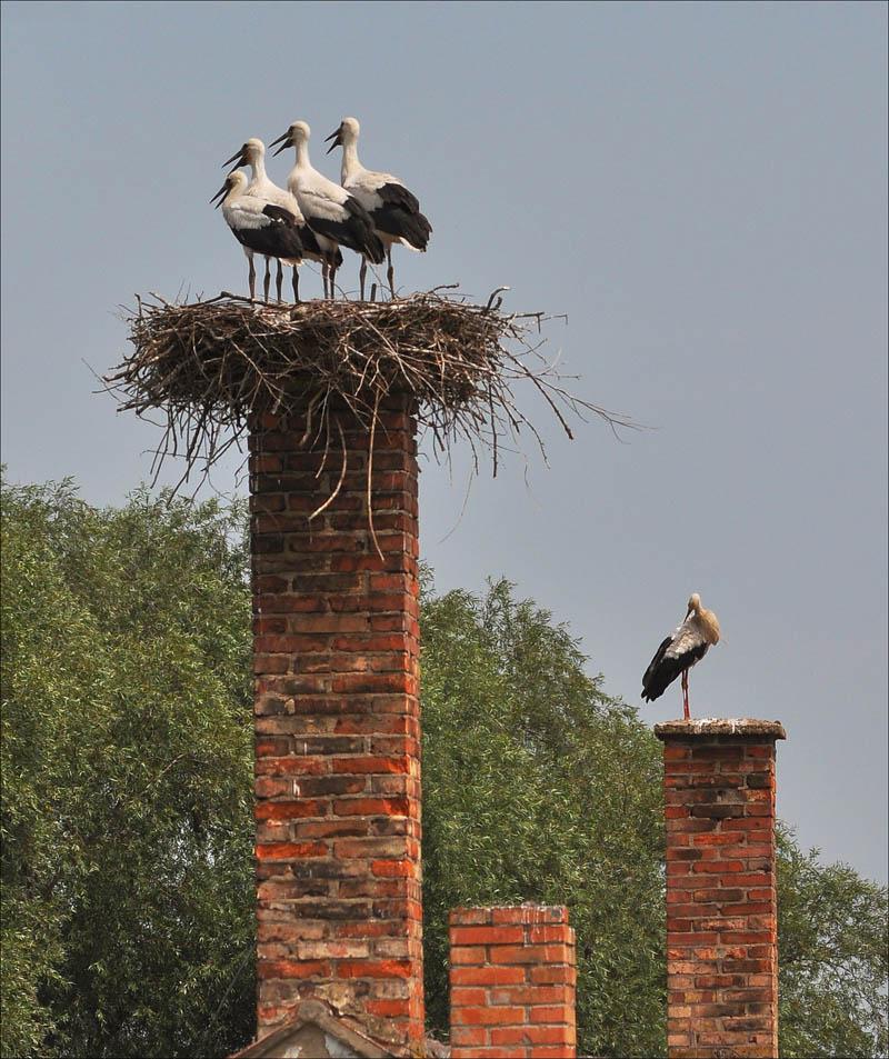 mladí čápi na hnízdě na komíně