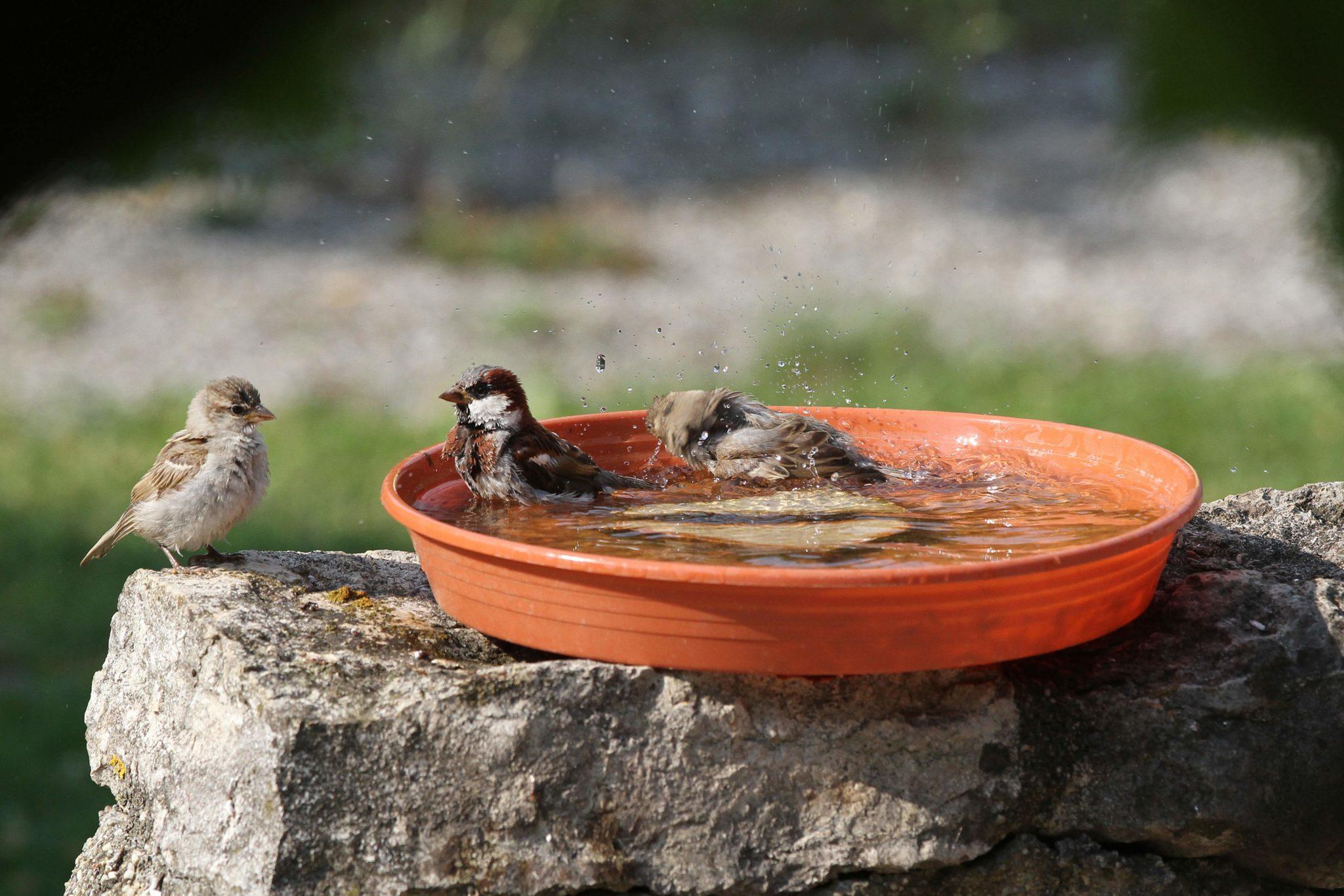 Vrabci koupající se v misce s vodou
