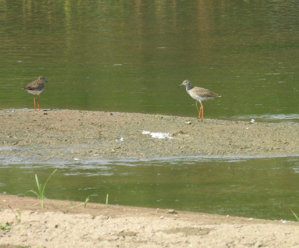 Mláďata vodouše rudonohého na Slavíkovském ptačníku. Foto: Alice Janečková