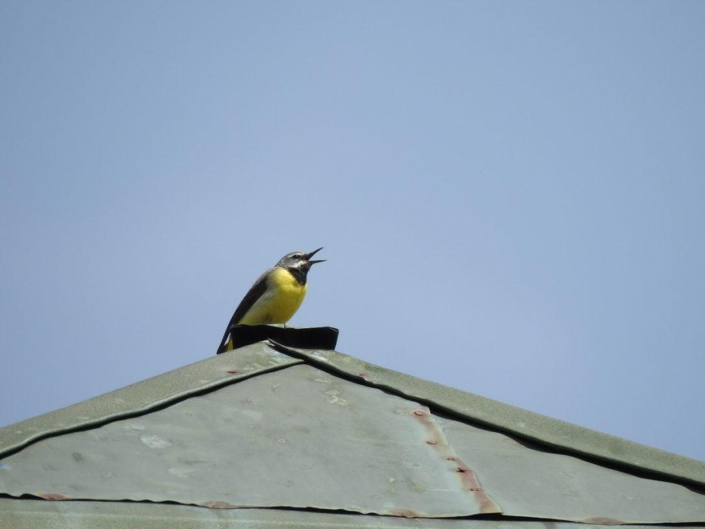 konipas horský zpívající ze štítu střechy