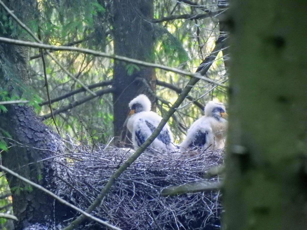 dvě mláďatá čápů černých na hnízdě