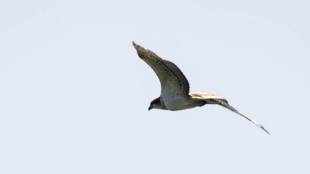 letící orlovec říční