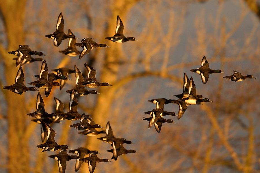 hejno letících poláků chocholaček