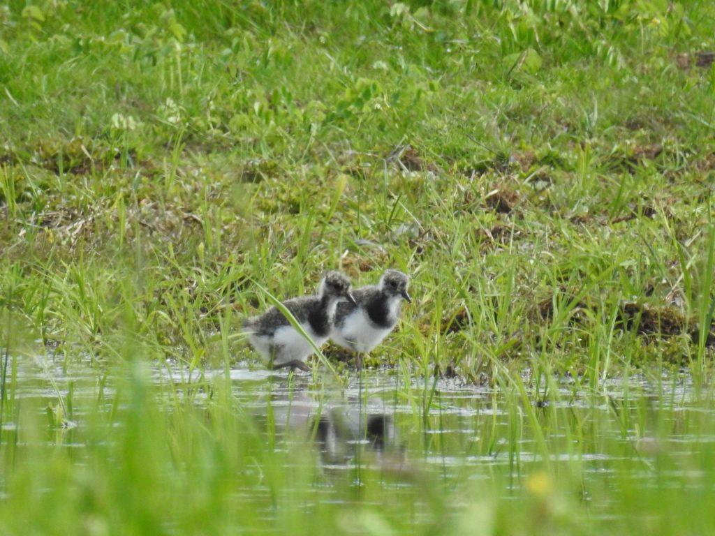 čejka chocholatá 2 mláďata na JL. Foto: Alice Janečková