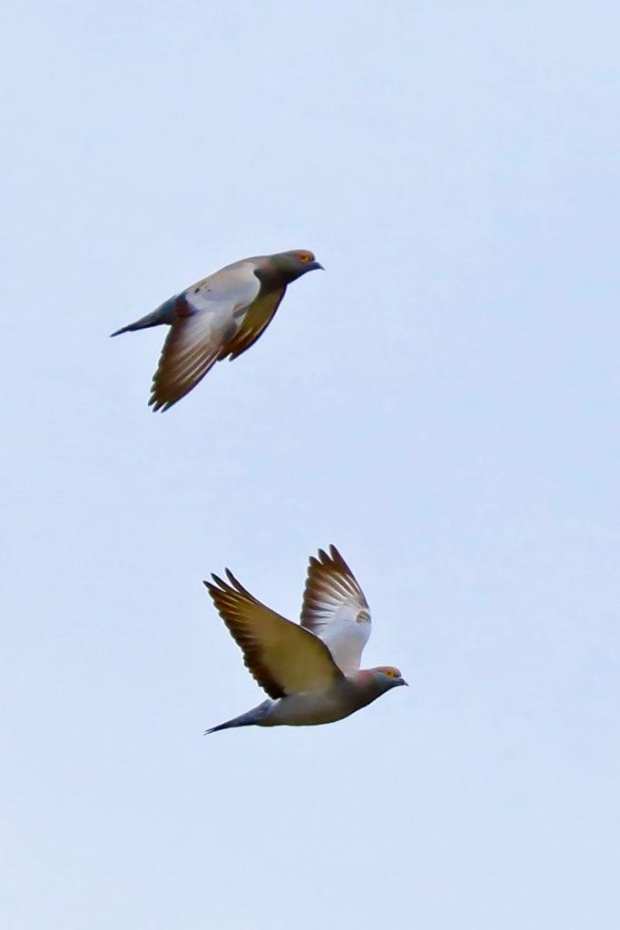 dva letící holubi