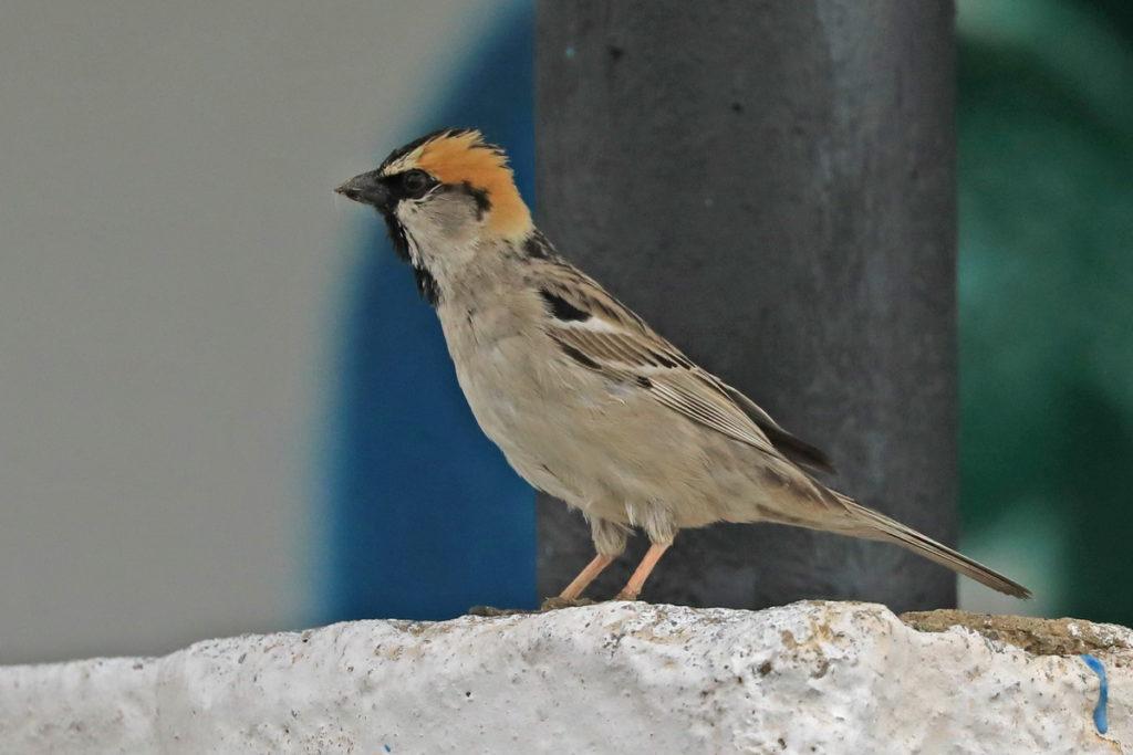 vrabec saxaulový