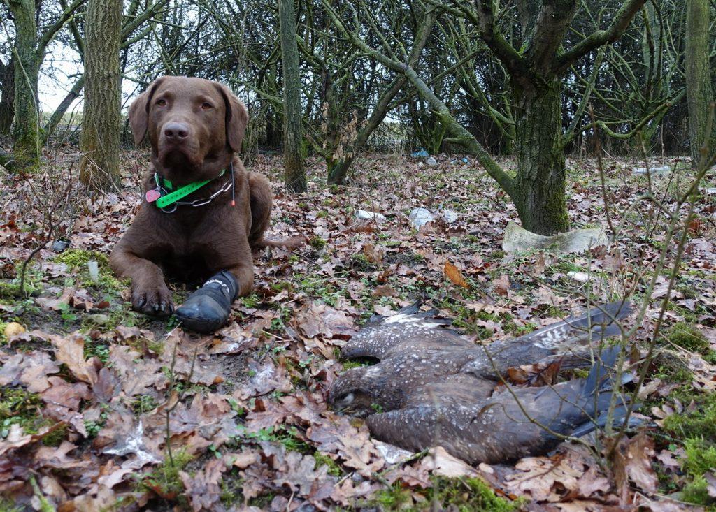Speciálně vycvičený pes Victory, který v terénu pátrá po otrávených návnadách a jejich obětech. Na snímku s kání lesní nalezenou 17. března 2021 na Litoměřicku.